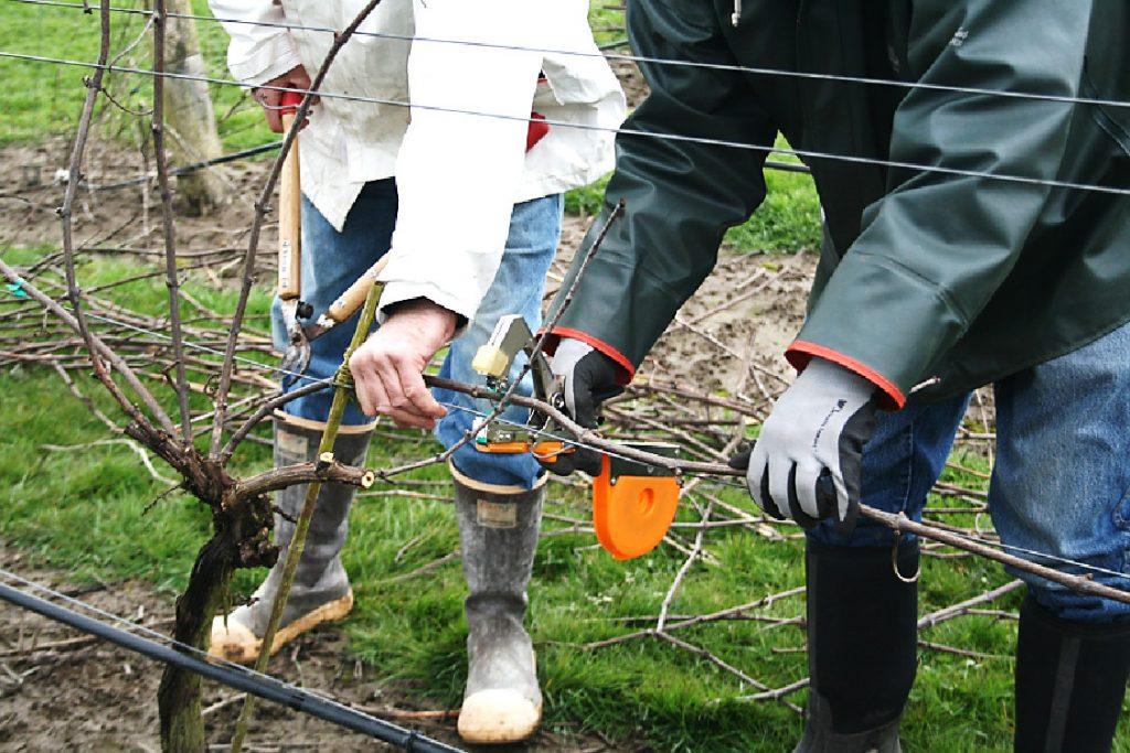 Jar vo vinohrade. Na čo nezabudnúť alebo ako správne rezať vinič? | regioWine