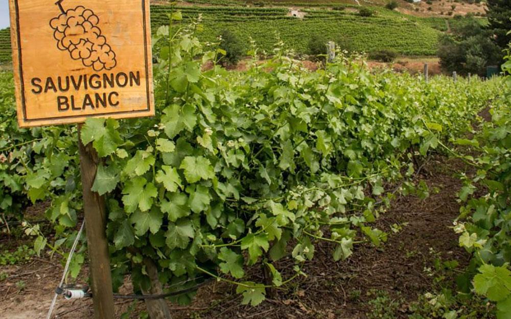 Aké víno ochutnať v máji? Inšpirujte sa Medzinárodným dňom odrody Sauvignon Blanc | regioWine